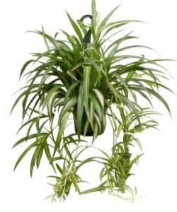 chlorophytum_comosum_spider_plant_