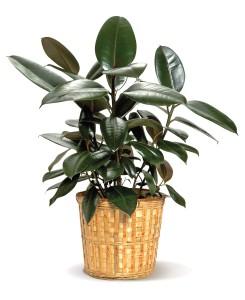 rubberplant